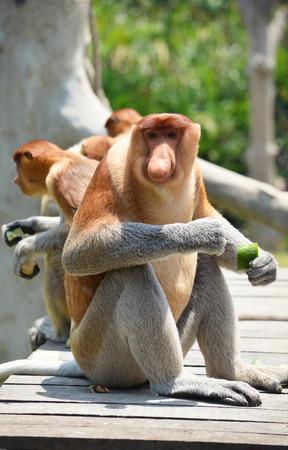sandakan: Proboscis monkey endemic of Borneo island in Malaysia Stock Photo