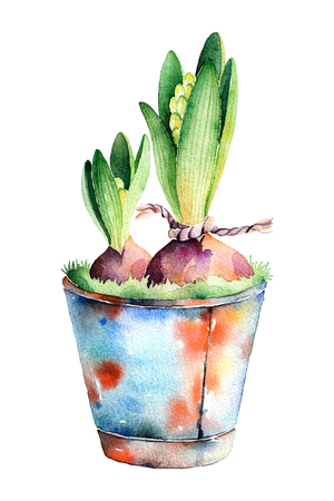 rusting: High quality painted watercolor- 2 hyacinth in shabby old pot. olorful illustration can be used for greeting cards, mothers day, wallpapers, invitation, blog for your own compositions