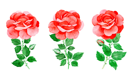 Handpainted watercolor beautiful roses. 3 lovely clipart isolated.Can be used for your project, greeting cards, wedding, birthday cards, bouquets, wreaths, invitations, logos.