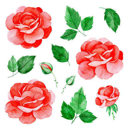Handpainted watercolor roses flowers, and leaves. Lovely clipart isolated. Can be used for your project, greeting cards, wedding, birthday cards, bouquets, wreaths, invitations, logos.