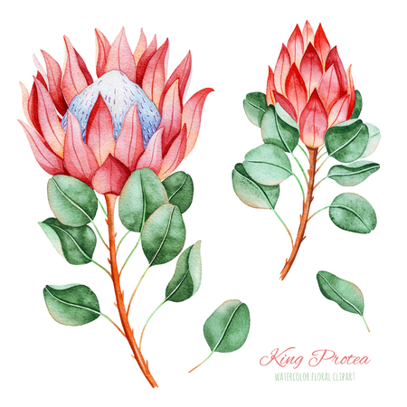 Handpainted collection with watercolor king protea and leaves. 4 lovely clipart isolated.Perfect your project, greeting cards, wedding, birthday cards, bouquets, wreaths, invitations, logos, patterns etc