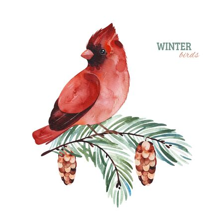Winter watercolor illustration.Cute Cardinal bird on a branch.Perfect for your project, christmas holiday, wedding invitations, greeting cards, photos, posters, quotes and more.