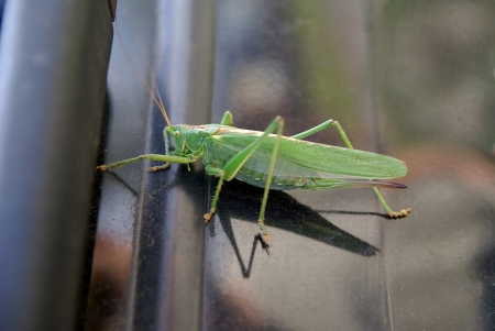 fillers: beautiful green cricket on the metal surface