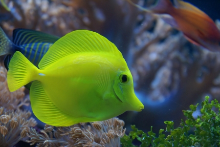 tropical yellow tang fish in the water Stock Photo - 24184060