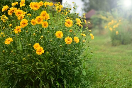 Blooming slant flowers in yellow on a garden discount on a summer morning.