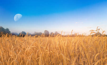 Golden wheat in the field