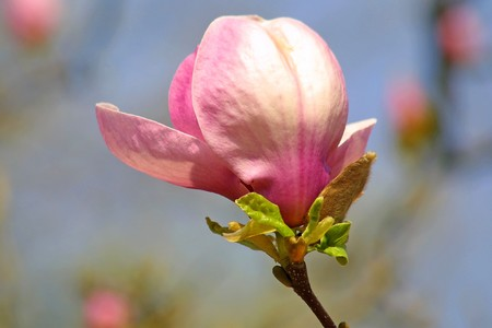 Pink magnolia flower in spring photo