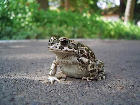 viridis: European Green Toad (Bufo viridis)