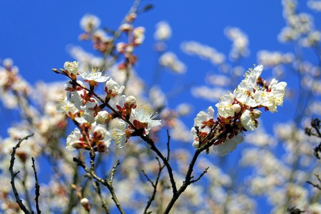 seasonable: Close-up branch of cherry bloom in spring Stock Photo