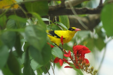 oriole: The European Golden Oriole (Oriolus oriolus) perched on a twig