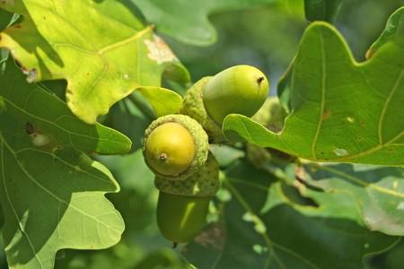 Close-up acorns on the oak-tree photo