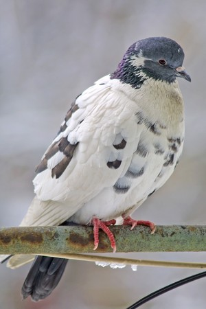 Close-up pigeon on a perch Stock Photo - 7851187