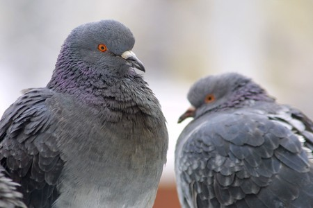 Two pigeons on a perch Stock Photo - 7851189