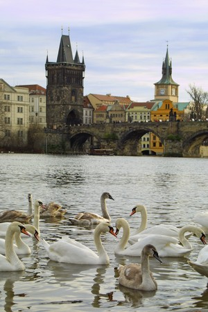 vltava: Swans on Vltava river in Prague, Czech Republic