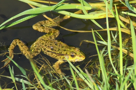 webbed legs: Big green frog (American Bullfrog) crawling from the water
