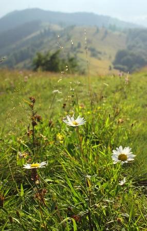 Summer mountain green meadow in Carpathians, Ukraine photo