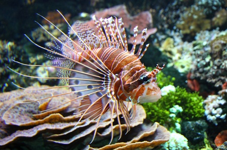 pterois volitans: The Red lionfish (Pterois volitans) Stock Photo