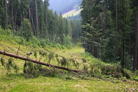Fallen pine-tree across the track of Bukovel ski resort in summer, Carpathian mountains, Ukraine Stock Photo - 10320476