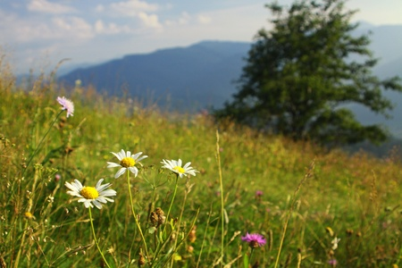 Camomile flowers on the green mountain meadow in Carpathians, Ukraine photo