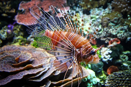 The Red lionfish (Pterois volitans) in het water