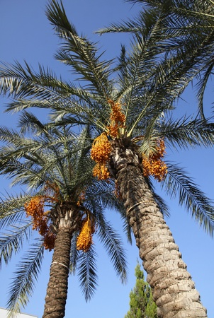 Close-up date palm tree with dates photo