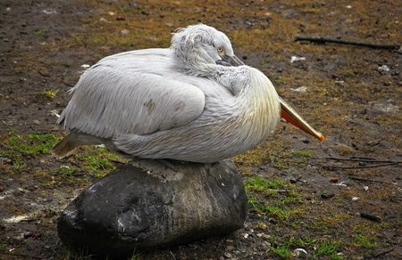 Dalmatian Pelican bird seats on a stone in Berlin Zoo, Germany photo