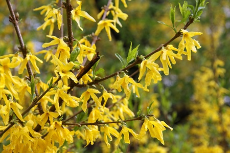 Close-up branch of yellow forsythia shrub photo