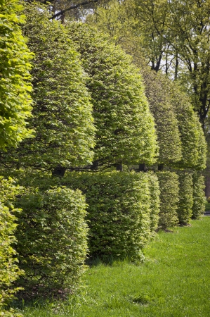 trimmed: Row of neatly trimmed trees in the garden