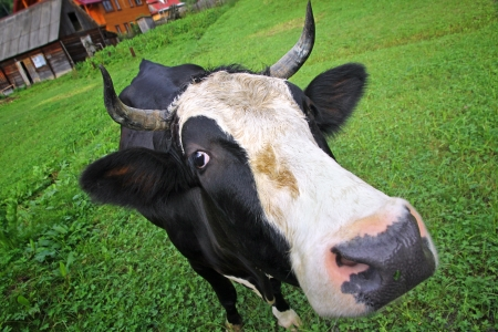 Cow on a summer pasture in Carpathian village photo