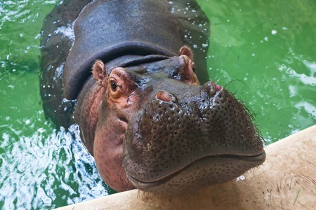 animals amphibious: Adult hippo swimming in a zoo pool