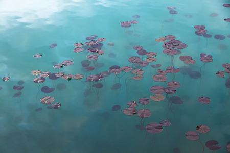 nymphaeaceae: Watel Lily plants Nymphaeaceae in the water