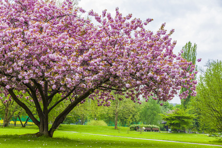 Beautiful sakura tree in the park in Kreuzlingen, Switzerland