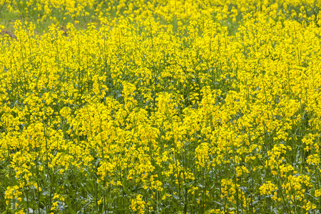 rappi: Beautiful rapeseed field in the springtime Stock Photo