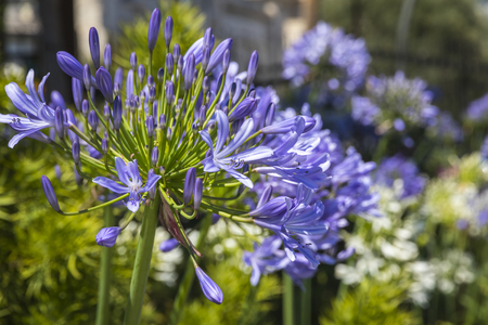 Close-up African Lily flowers (Agapathus africanus) in the garden