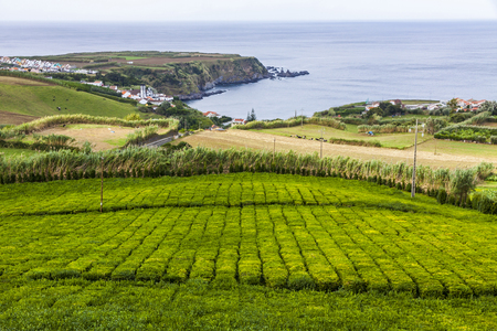 Tea plantation of Porto Formoso on Sao Miguel island, Azores, Portugal. Azores is home to the only such plantation in Europe. Amazing landscape of outstanding natural beauty Stock Photo