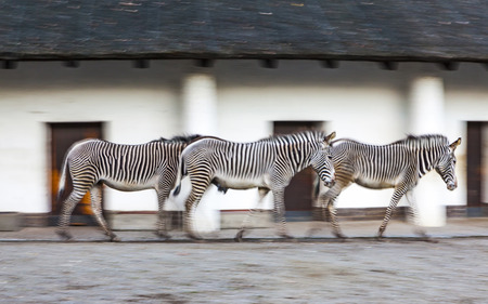panning shot: Three zebras walk on a zoo aviary in the evening (panning shot at a slow shutter speed of 16 second)