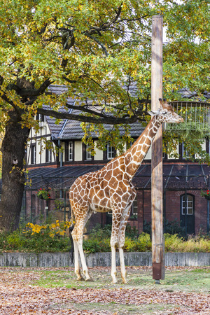 Reticulated giraffe (Giraffa reticulata), also known as the Somali giraffe, walks on the outdoors aviary in Berlin Zoo Stock Photo