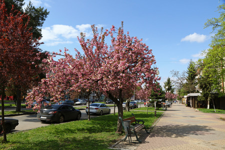 UZHGOROD, UKRAINE - APRIL 14, 2017: Blossoming pink sakura trees on the streets of Uzhgorod city, Transcarpathia, Ukraine. Sakura can be found in many parts of Uzhgorod, total number of trees is more than 2000
