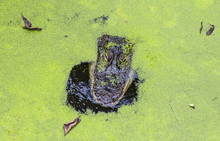 Close-up head of alligator covered in thick green duckweed in water pond Stock Photo