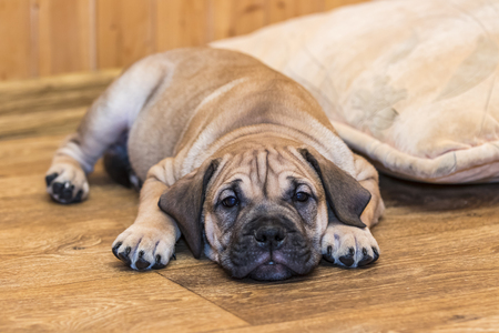Brown 8 weeks old Ca de Bou (Mallorquin Mastiff) puppy dog lying on a parquet floor