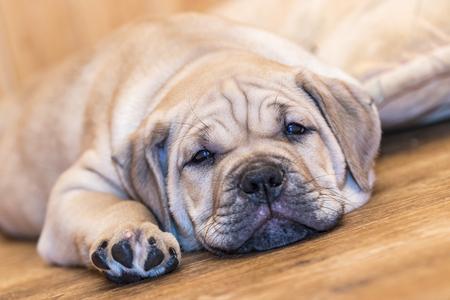 Brown 8 weeks old Ca de Bou (Mallorquin Mastiff) puppy dog lying on a parquet floor Standard-Bild - 92765705