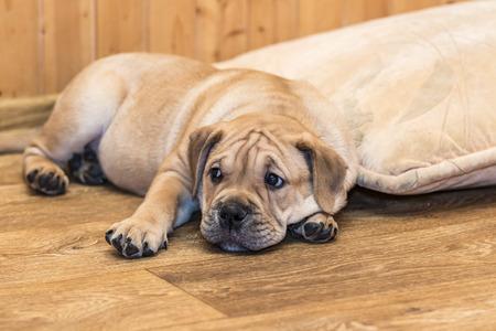 Brown 9 weeks old Ca de Bou (Mallorquin Mastiff) puppy dog lying on a parquet floor Stock Photo