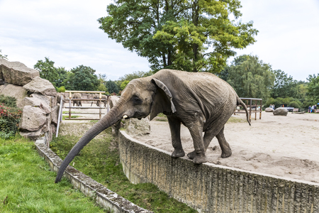 BERLIN, GERMANY - SEPTEMBER 23, 2017: African elephant eating the grass at its aviary in Tierpark Berlin (Zoo of Eastern Berlin), Germany. Tierpark Berlin is home to over 9000 exotic and native animals