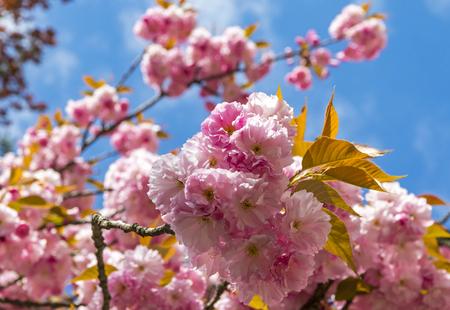 Close-up branch of blossoming pink sakura tree, Uzhhorod city, Transcarpathia, Ukraine 版權商用圖片