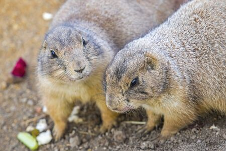 Pair of Black-tailed Prairie Dogs (Cynomys Ludovicianus) sharing their food.