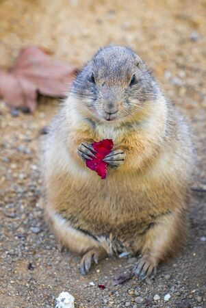 Adult Black-tailed Prairie Dog (Cynomys Ludovicianus) eats a maple leaves.