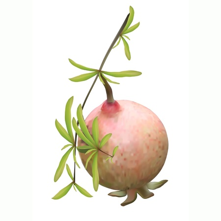 The pomegranate hangs on a branch with green leaves Vector