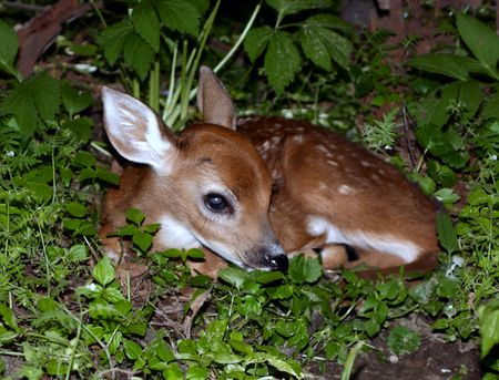 Baby Fawn hiding in the grass Stock Photo