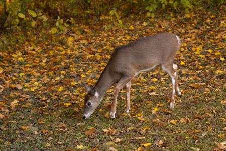 Whitetail deer eating with alert ears and copyspace on the left photo