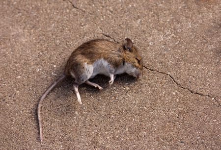 Dead mouse laying on its side with long tail Stock Photo